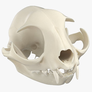 domestic cat skull jaw 3D model
