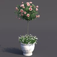 Rose bush in the pot #2