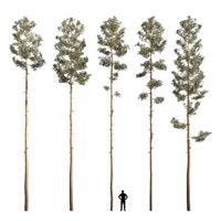 Mast pine