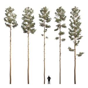 mast pine 3D