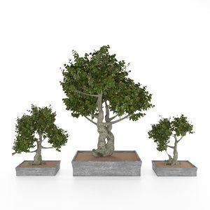 3D model potted dwarf pyracantha bonsai tree