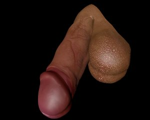 3D male penis model