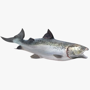 3D swimming atlantic salmon fish