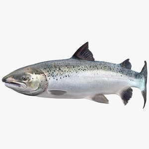 3D swimming atlantic salmon fish model