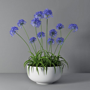 3D agapanthus african lily model