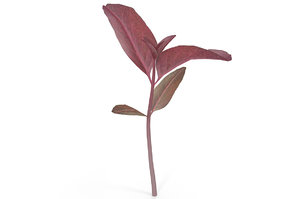 3D red amaranth