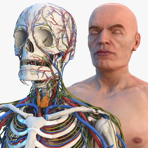 3D male skeleton cardiovascular lymphatic