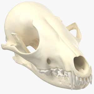 red fox skull jaw model