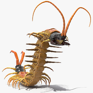 scolopendra heros arizona giant model