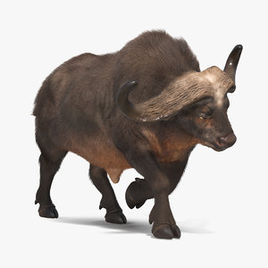african buffalo attacking pose 3D model