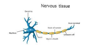 nervous tissue 3D model
