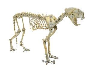 3D model leopard skeleton