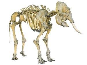 3D elephant skeleton hd model