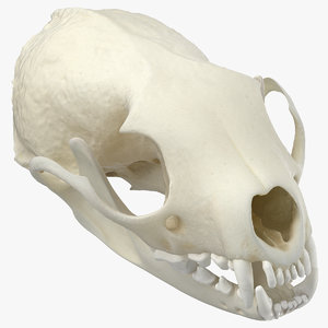 white breasted marten skull model