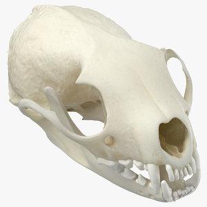 white breasted marten skull model