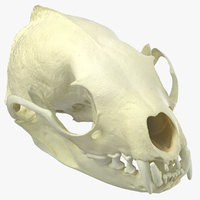 White Breasted Marten Skull and Jaw 02