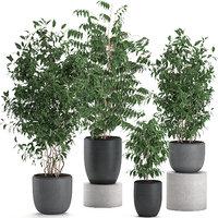 Ficus benjamina trees in a flowerpot for interior design 562