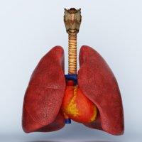 Trachea Heart Lungs