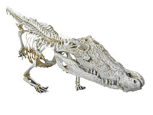 3D alligator skeleton hd model