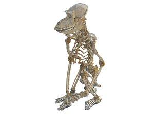 monkey skeleton 3D model