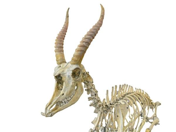3d Goat Skeleton Hd Turbosquid 1571237