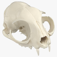 Domestic Cat Skull 01