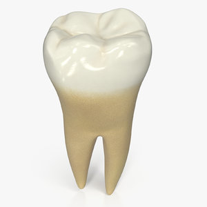 human teeth lower second 3D model