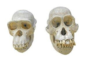 chimpanzee orangutan real skull 3D model
