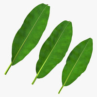 Leaves from Banana Tree