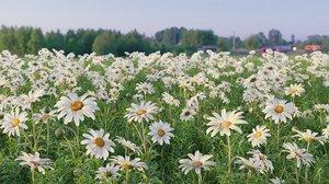 realistic daisies flowering 3D