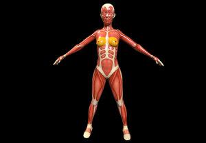 female anatomy model