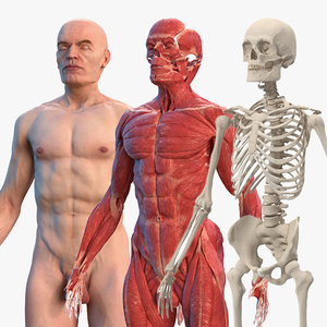 3D male body anatomy skeleton model