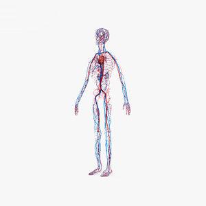 3D model circulatory human