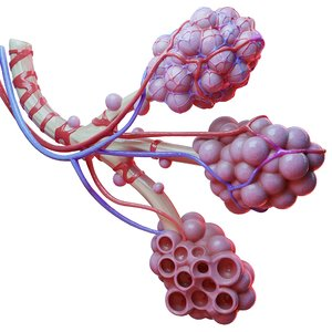 realistic human bronchi alveoli 3D
