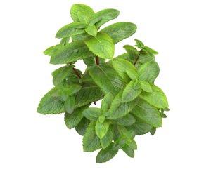 mint plant 3D model