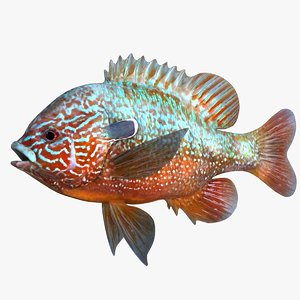 realistic longear sunfish 3D model