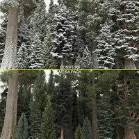 40+40 Conifer Trees