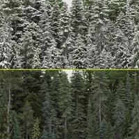 80+80 Pine Trees