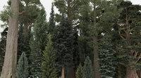 40 Summer Conifer Trees