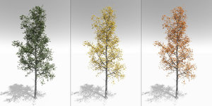 3D model quaking aspen adult seasonal