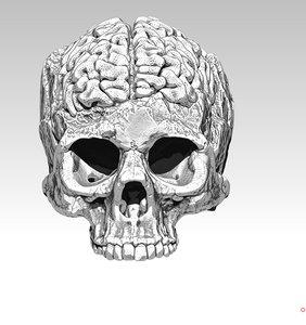 human skull brain model