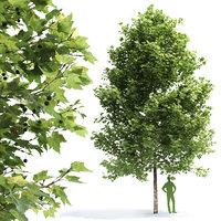 Plane-tree Sycamore Platanus V2