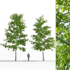 3D birch trees