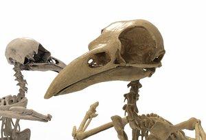 raven skeleton model