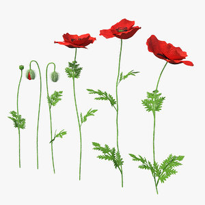 3D stages poppy flower growth model