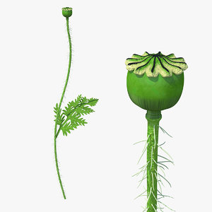 3D young poppy flower sprout model