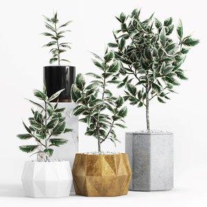 3D ficus elastica variegata plant model