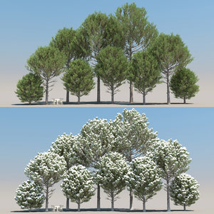 3D 10 pinus pinaster tree leaves model