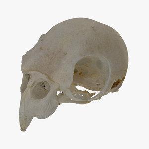 cockatiel nymphicus hollandicus skull 3D