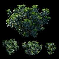 Gardenia angustifolia Merr